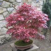 Acer Palmatum Atropurpureum (Redleaf Maple)