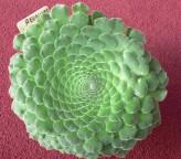 Aeonium Tabuliforme Seeds