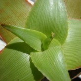 Aloe Manandonae Seeds