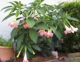 Brugmansia Suaveolens Pink (Angel's Trumpet)