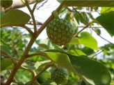 nnona Senegalensis (Annona Chrysophylla, Anone)