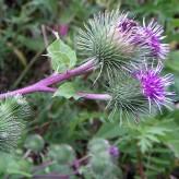 Greater Burdock Seeds