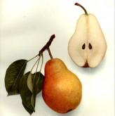 Bartlett Pear ( Pyrus communis)