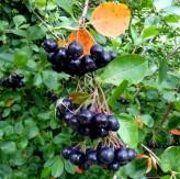 Black Chokeberry Seeds