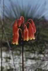 Blandfordia Grandiflora Seeds (Large Christmas Bells Seeds)