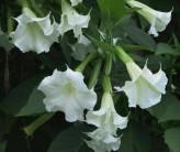 Brugmansia Suaveolens White (Angel's Trumpet)