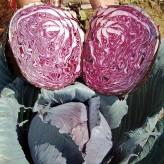 Buscaro Red Cabbage Seeds