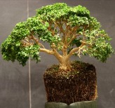 Buxus sempervirens sur Rarexoticseeds