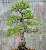 Korean Hornbeam Seeds