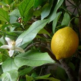 Lemon Seeds (Citrus limon)