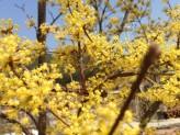Japanese Cornel Dogwood (Cornus officinalis)