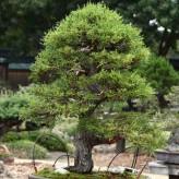 Cupressus Macrocarpa Seeds - (Monterey Cypress)