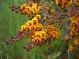 Dionaea Muscipula Giant Forms Mix (Venus Flytrap)