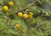 Gum Arabica Tree