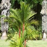 Lipstick Palm Seeds
