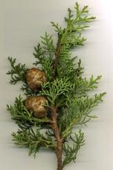 Cupressus Sempervirens Seeds (Mediterranean Cypress Seeds)