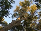 Acer Oblongum (Evergreen Maple Tree)