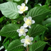 Silver Vine (Actinidia polygama)