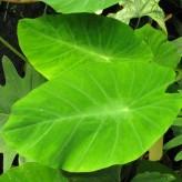 Silver Leaf Elephant Ear Seeds (Colocasia fallax)