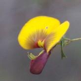 Water Bush Seeds (Bossiaea aquifolium)