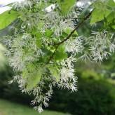White Fringetree Seeds