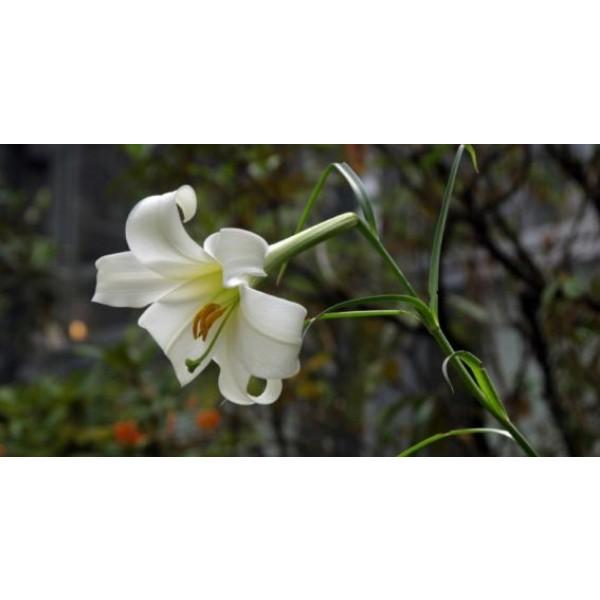 Lilium Wallichianum Seeds (Wallichianum Lily Seeds)