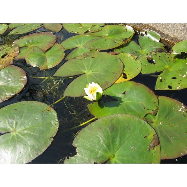 Nymphaea Tetragona Seeds (Pygmy Water-lily Seeds)