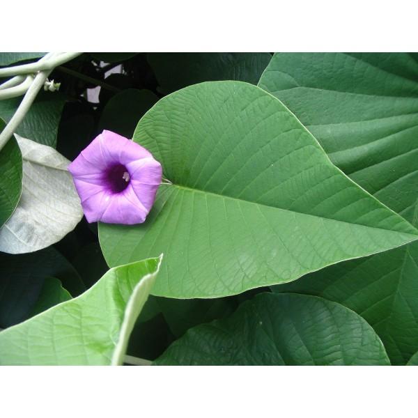 Hawaiian Baby Woodrose Seeds