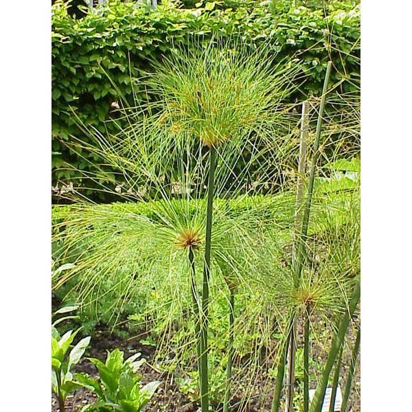 Cyperus Papyrus Seeds (papyrus, papyrus sedge)