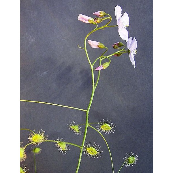 Drosera Macrantha Seeds (Bridal Rainbow Sundew)