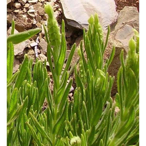 Lavandula Viridis Seeds (Yellow Lavender Seeds)