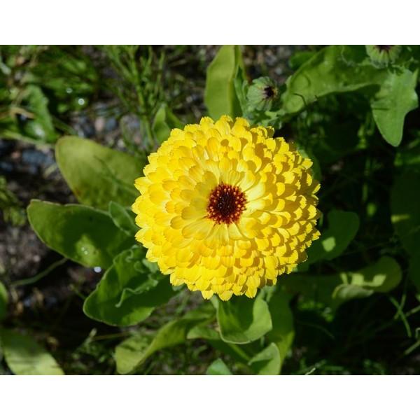 Calendula Officinalis Seeds (Pot Marigold Seeds, Ruddles Seeds, Common Marigold Seeds, Garden Marigold Seeds, English Marigold Seeds, Scottish Marigold Seeds)