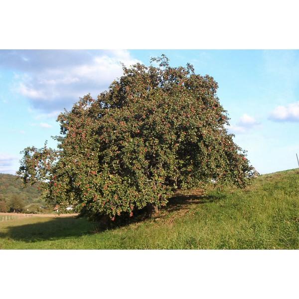 Malus Domestica Seeds (Apple Tree Seeds)