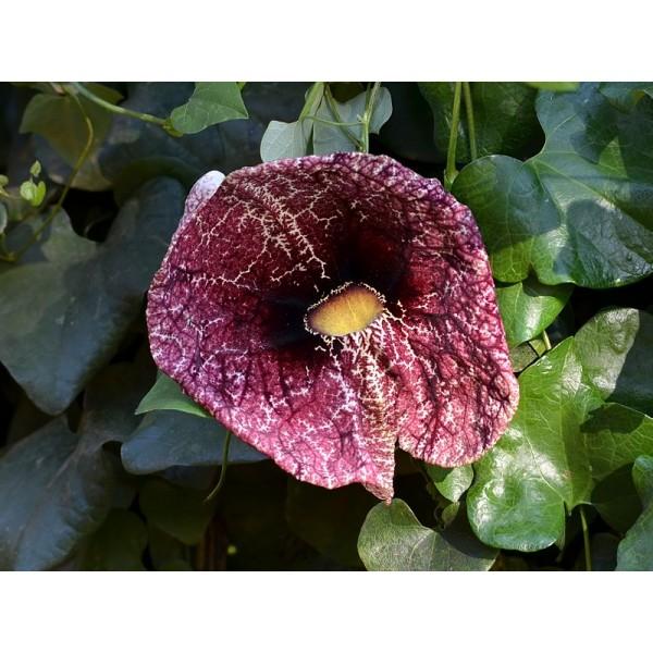 Aristolochia Elegans (Aristolochia Littoralis, Dutchman's Pipe, Calico Flower)