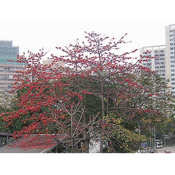 Cotton Tree Seeds (Bombax Ceiba)