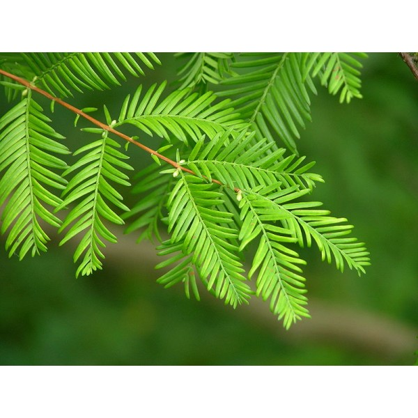 Dawn Redwood Seeds (Metasequoia Glyptostroboides)