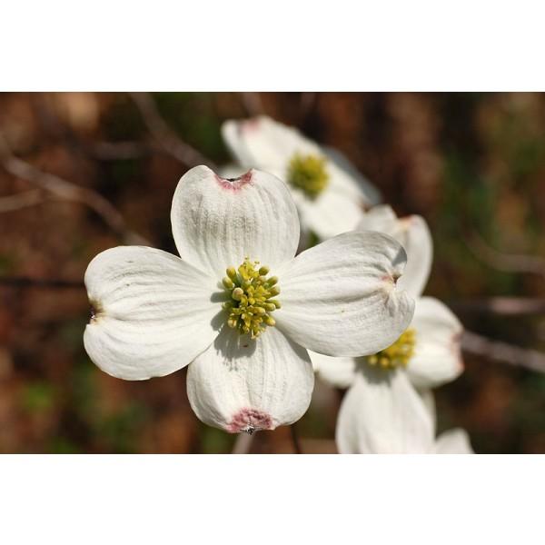 Cornus Florida (Flowering Dogwood)