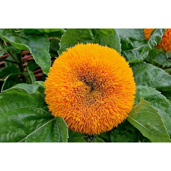 Helianthus Annuus Teddy Bear Seeds (Sunflower Teddy Bear Seeds)