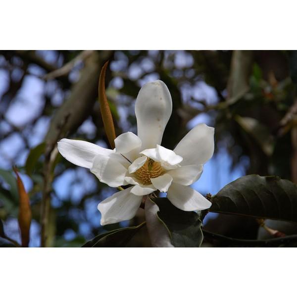 Michelia Doltsopa Seeds (Sweet Michelia Seeds)