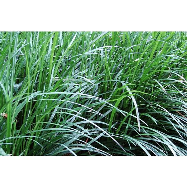 Aztec Grass Seedsintermedius Seeds