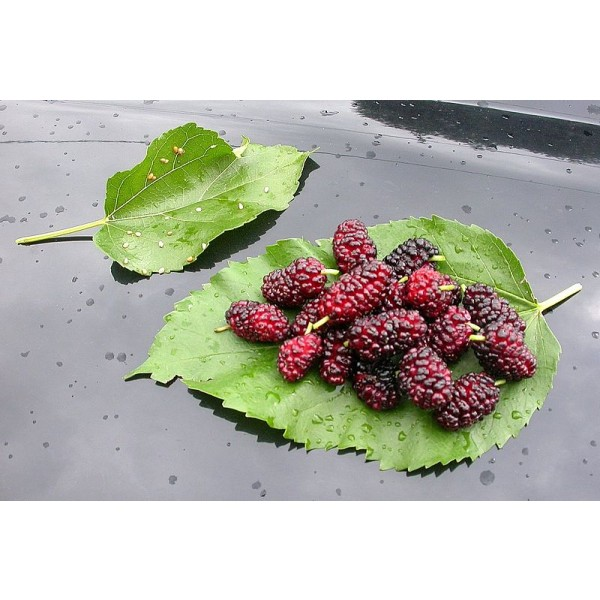 Morus Alba Seeds (White Mulberry Seeds, Silkworm Mulberry Seeds)
