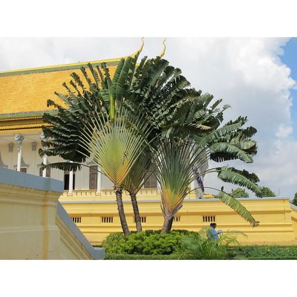 Ravenala Madagascariensis Seeds (Traveler's Palm Seeds)
