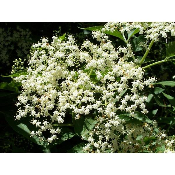 Sambucus Nigra Seeds (Elderberry Seeds)
