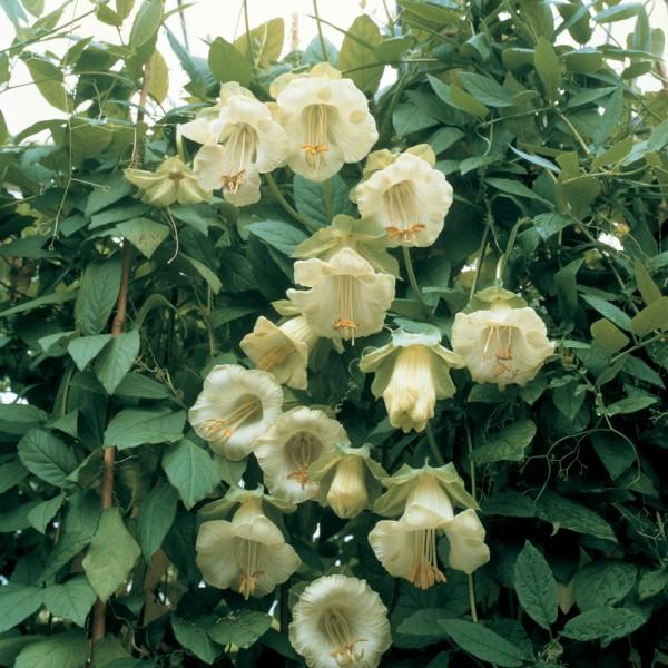 Cobaea Scandens Alba Seeds (Cup and Saucer Vine Seeds)