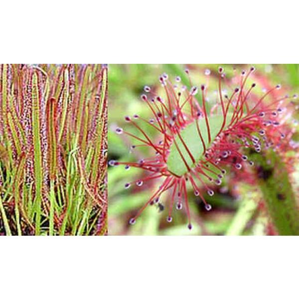 Cape Sundew Seeds