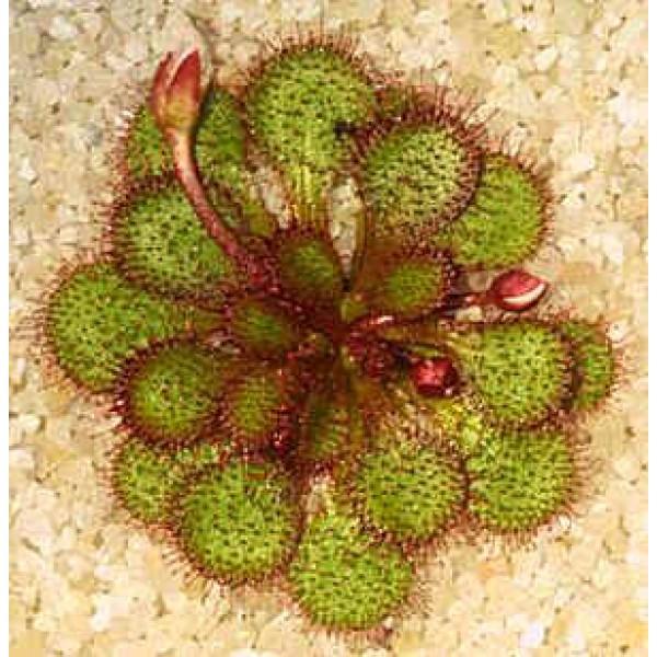 Drosera Lowriei Seeds (Tuberous)
