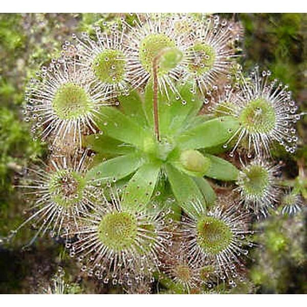 Drosera Pulchella Seeds (Pygmy)