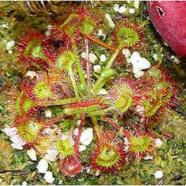 Drosera Rotundifolia (Round Leaf Sundews)