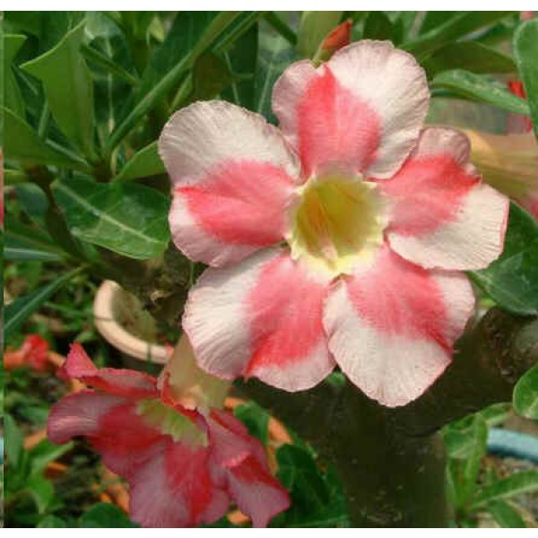 Adenium Beauty Cloud Seeds (Adenium Obesum Seeds)