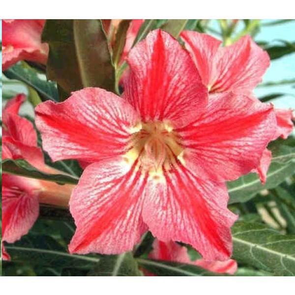 Adenium Star of Happiness Seeds (Adenium Obesum Seeds)